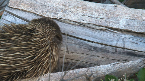 Echidna walking and searching for food on a death  Footage