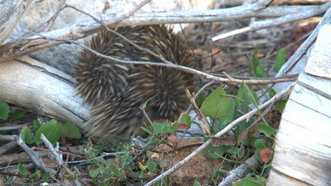 Echidna walking in the forest Stock Video Footage