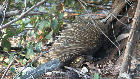 Echidna walking between the branches in the forest Footage