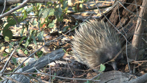 Echidna walking between the branches in the forest Stock Video Footage