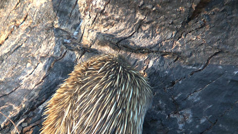 Echidna eating ants and termites from a death tree Stock Video Footage