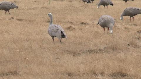 Big Group Cape Barren Goose walking and eating gra Stock Video Footage