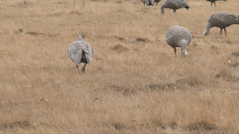 Big Group Cape Barren Goose walking and eating gra Footage