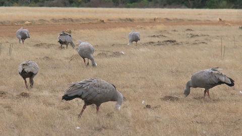 Big Group Cape Barren Goose eating grass Stock Video Footage