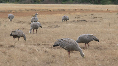 Big Group Cape Barren Goose eating grass Footage