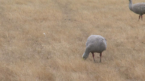 Itchy Cape Barren Goose eating grass Stock Video Footage