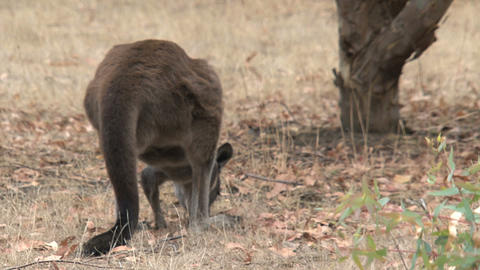 Kangaroo eating grass and moves away slowly Stock Video Footage