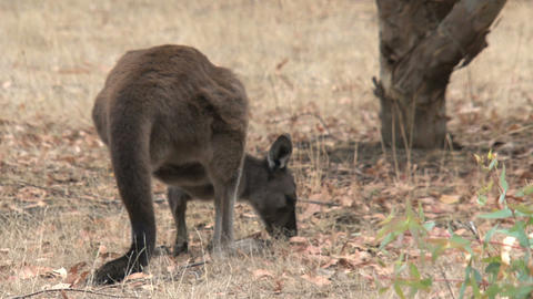Kangaroo eating grass and moves away slowly Footage