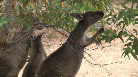 Kangaroos eating leafs from a tree Stock Video Footage