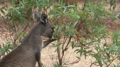 Kangaroo eating leafs from a plant Stock Video Footage
