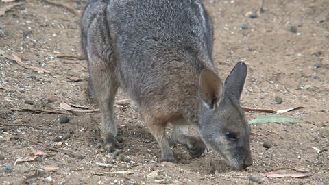 Wallaby searching for food between the sand Stock Video Footage