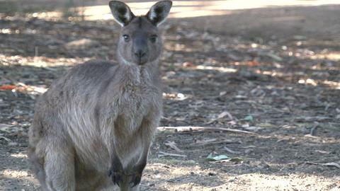 Kangaroo looking towards camera Footage