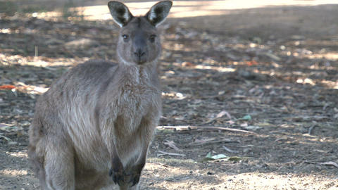 Kangaroo looking towards camera Stock Video Footage