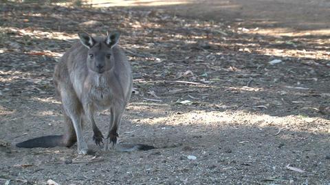 Kangaroo looking around and towards camera Stock Video Footage