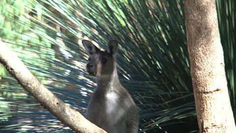 kangaroo looking in to the camera and jumps away Footage