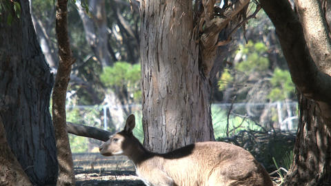 kangaroo looking in to the camera and jumps away Stock Video Footage