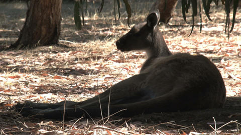 Kangaroo relaxing under a tree in the shadow Footage