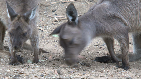 Kangaroo tired after eating Stock Video Footage