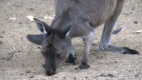 Kangaroo looking for food between the sand Stock Video Footage