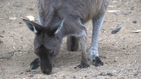 Kangaroo looking for food between the sand Stock Video Footage