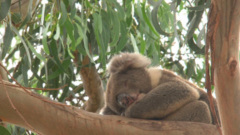 Koala sleeping Footage