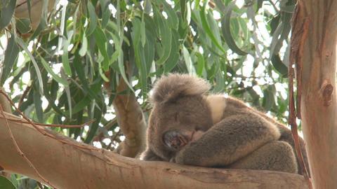 Koala sleeping Stock Video Footage