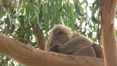 Koala sleeping in a tree Live Action