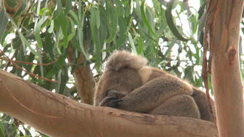Koala sleeping in a tree Stock Video Footage