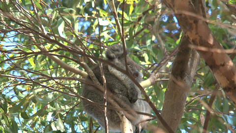Little koala in a tree Stock Video Footage