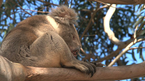 Koala yawning Stock Video Footage