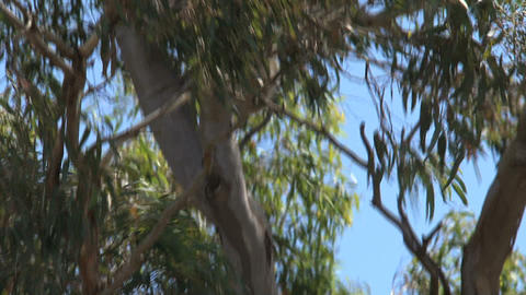 koala climing Stock Video Footage