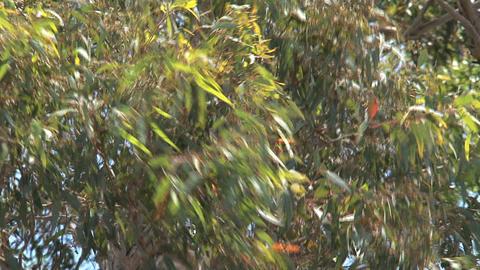 koala climing Stock Video Footage