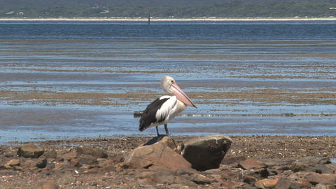 Pelican on the rocks Stock Video Footage
