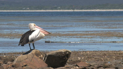 Pelican looking around Stock Video Footage