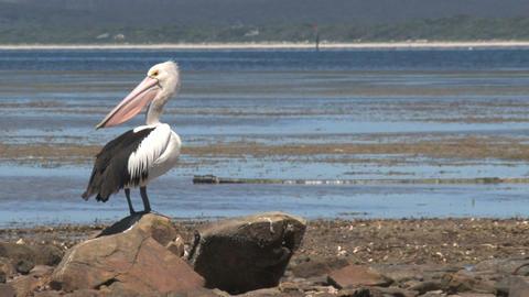 Pelican looking around Stock Video Footage