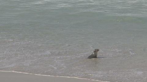 Sea lion running Footage