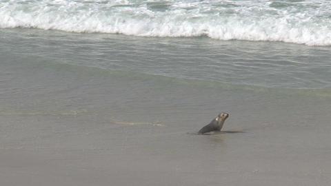 Sea lion running Stock Video Footage