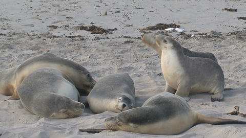 Sea lions sniffing at each other Stock Video Footage