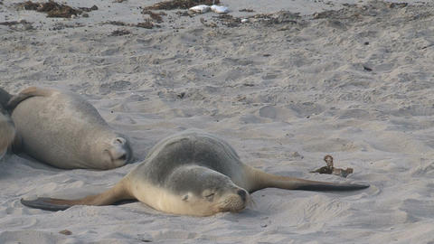 Sea lions sleeping cute at the beach Stock Video Footage
