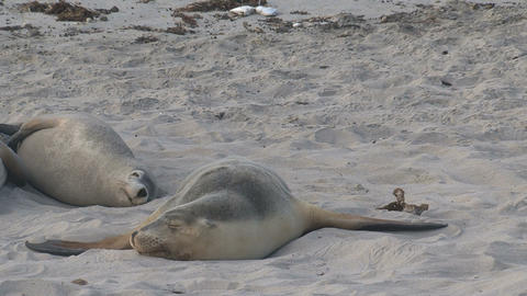 Sea lions sleeping cute at the beach Footage