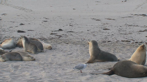Sea lions sniffing and running around their parant Stock Video Footage