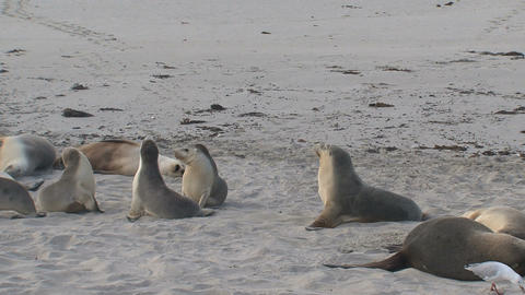 Sea lions sniffing and running around their parant Footage