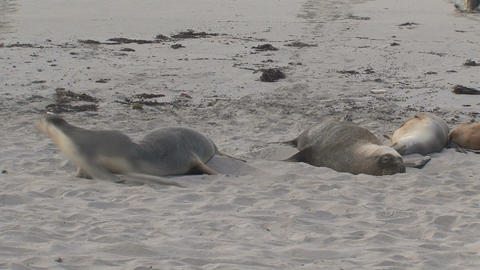 Sea lions playing and running at the beach Stock Video Footage