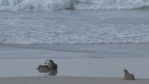 Mother Sea lion feeding here young Stock Video Footage