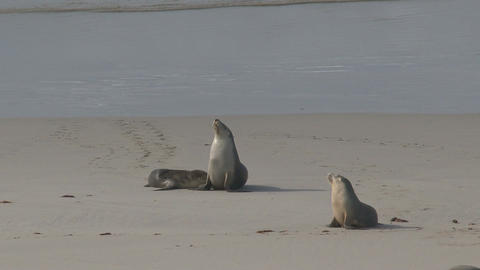 Mother Sea lion feeding here young at the beach Footage
