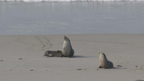 Mother Sea lion feeding here young at the beach Stock Video Footage