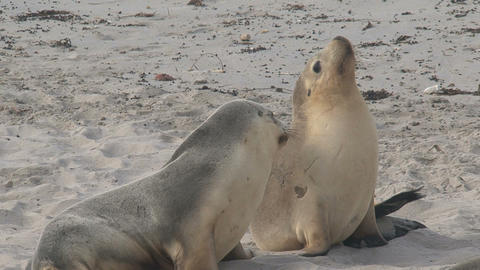 Two Sea Lions Enjoying The Morning Sun stock footage