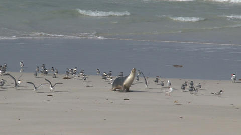 Baby sea lion between gulls at the beach Stock Video Footage