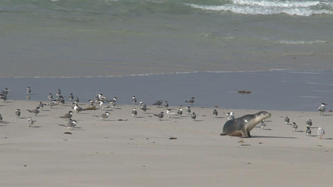 Baby sea lion between gulls at the beach Live Action