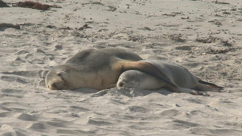 Two Sea lions sleeping cute next to each other Stock Video Footage